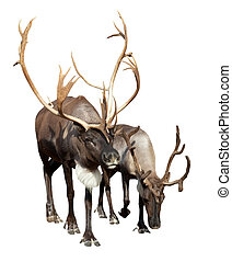 Two caribou - Two adult caribou Isolated over white