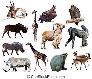 fehér, afrikai, elszigetelt, állatok