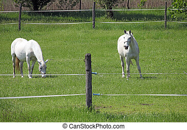 two Lipizzaner horse on field