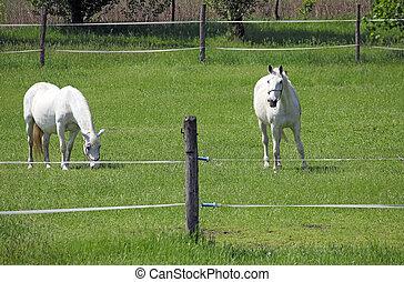 two Lipizzaner horse on field