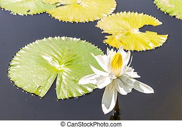 White lotus in lagoon