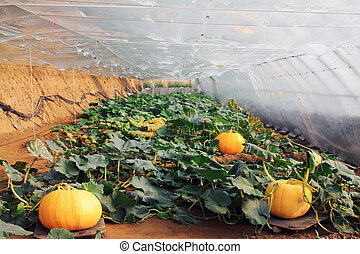 huge pumpkins in a vegetable greenhouses, closeup of photo