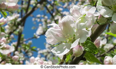 Blooming apple tree 2
