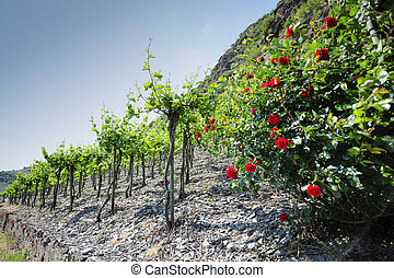 Vineyards at the Mosel, Germany - Vineyards at the Mosel...
