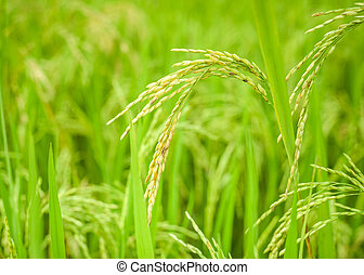Rice crop growing on plantation. Agriculture background of fields and meadows
