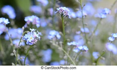 Forget me not flower - Bunch of the Forget me not flower...