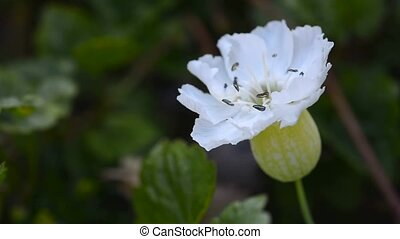 White bloom - Macro footage with beautiful white bloom in...