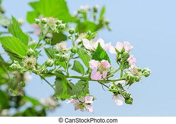Summer raspberry blossoming bush with purple flowers and...
