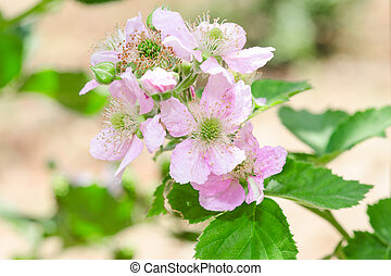 Bunch of blackberry or raspberry spring blossom with purple...