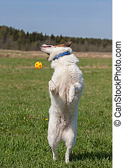 Siberian husky (laika) playing with a ball outdoors