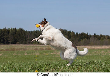 Siberian husky laika playing with a ball outdoors