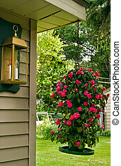 Growing Impatiens - Hanging tower of bloom Impatiens.