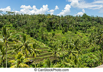 Lush green terraced farmland in Bali on a steep hillside...