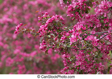 Blooming Apple Trees 01 - Blooming Trees in Orchard.