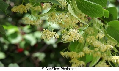 Linden tree flowers and hornet - Blooming linden tree branch...