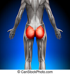 Glutes / Gluteus Maximus - Female Anatomy Muscles