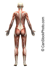 Female Anatomy Muscles - Posterior