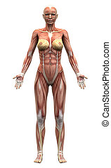 Female Anatomy Muscles - Anterior
