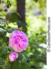 Rosa Centifolia Rose des Peintres flower closeup