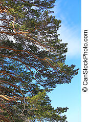 branches of big pine