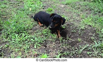 Cute little dog is digging a hole