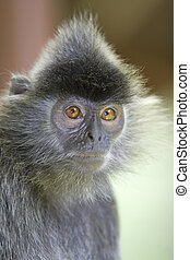 Silver leaf monkey - A silver leaf monkey in the mangrove,...