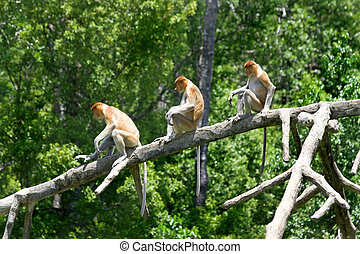 Proboscis monkeys in the mangrove, Kota Kinabalu