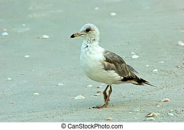 profile portrait of young ringbilled seagull