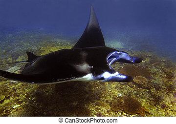 Manta ray at Manta Point divesite, Bali, Indonesia