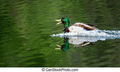 Landing Mallard Drake - A mallard drake finishes his...