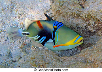Picasso triggerfish shot at the Maldives