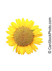 sunflower isolated.