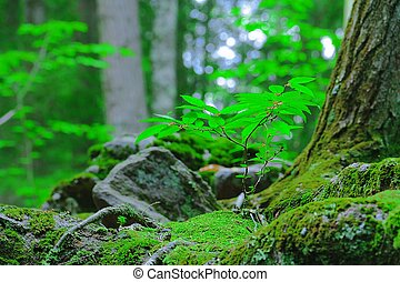 A saling growing in moss in the woods