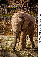 African elephant - The African elephant in Lisbon Zoo,...