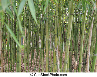 Bamboo plant - Bamboo flowering perennial evergreen plants...