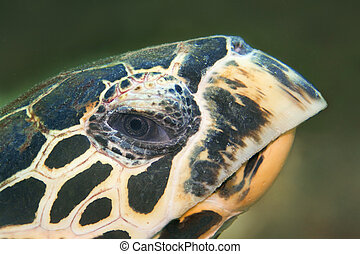 Hawksbill turtle - A Hawksbill turtle looking into the...