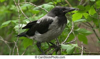 Crow fledgling - Fledgling crow, who recently left the nest
