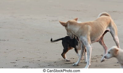 playing puppys - dogs playing on the beach