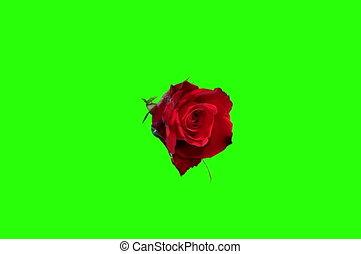 4K Blooming red roses flower buds green screen, Ultra HD...