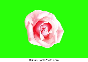4K Blooming pink roses flower buds green screen, Ultra HD...
