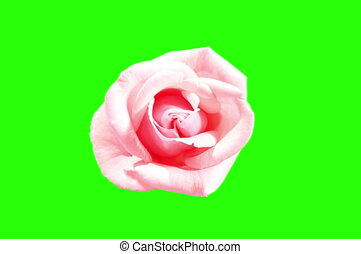 4K. Blooming pink roses flower buds green screen, Ultra HD....