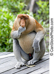 Proboscis monkey - A rare proboscis monkey in the mangrove,...