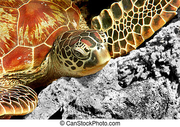 Green turtle - A green turtle at Sipadan