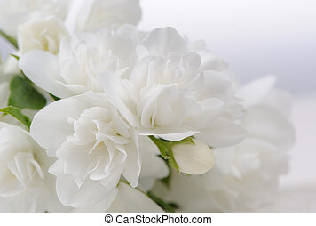 White Jasmine Flowers Close-Up with Copy Space - A close-up...