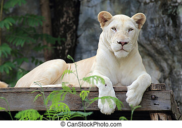 white lion  - A white lion asleep on the scaffold
