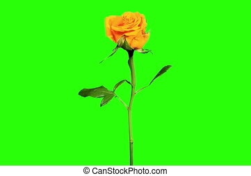 4K. Blooming yellow roses flower buds green screen, Ultra...