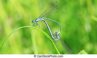 Azure Damselfly at mating - in a macro shot