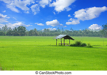 paddy field and cottage