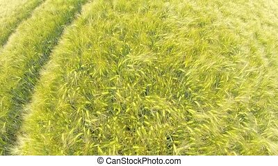 Aerial of a grain field - Aerial video footage of a grain...