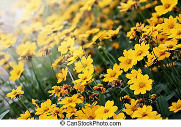 Coreopsis - Beautiful Coreopsis (Tickseed) with extreme...